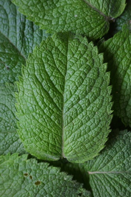 peppermint-1110_640