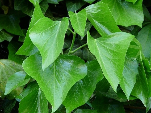 ivy-leaves-55892_640