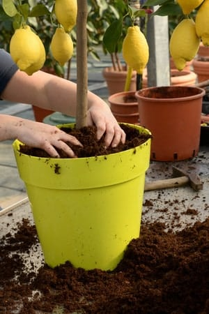 37606502 - gardener potting a lemon tree with fresh fruit in a large yellow pot arranging the rich fertile potting soil around the stem of the tree