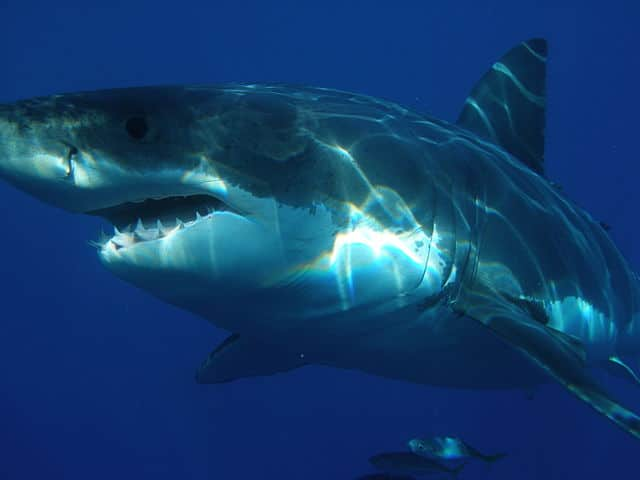 640px-Carcharodon_carcharias