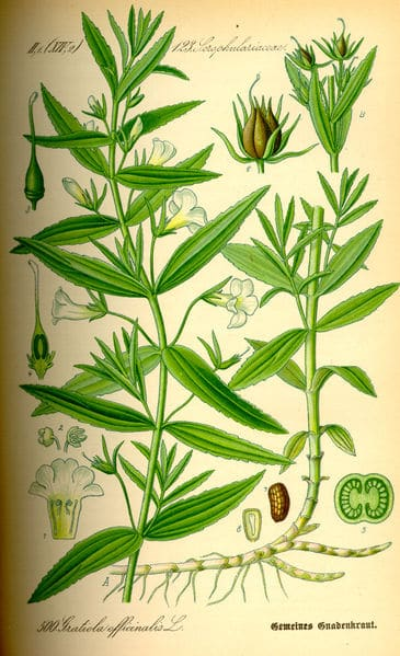365px-illustration_gratiola_officinalis0