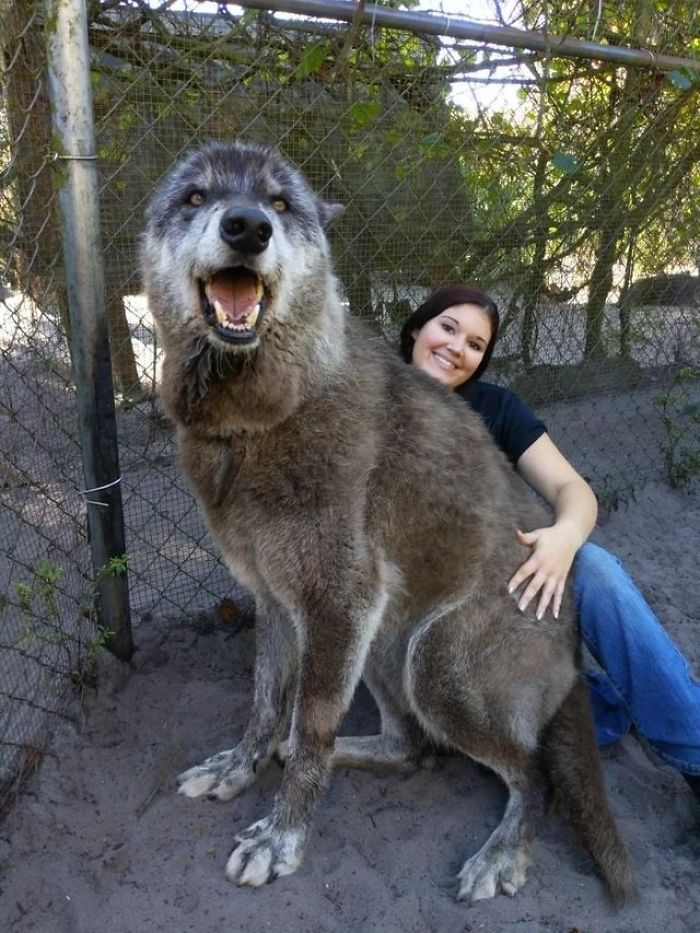 chien-loup111